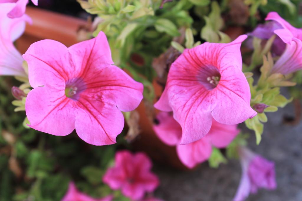 Petunie o campanelle passionando - Fiori da giardino estivi ...