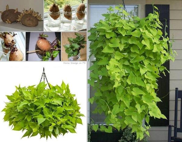 Come ottenere una pianta da una patata dolce