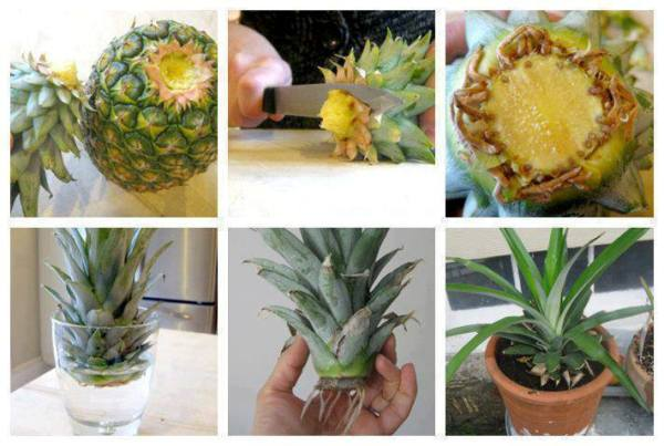 grow-Pineapple-home